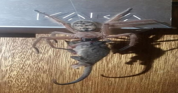 Spider eats possum